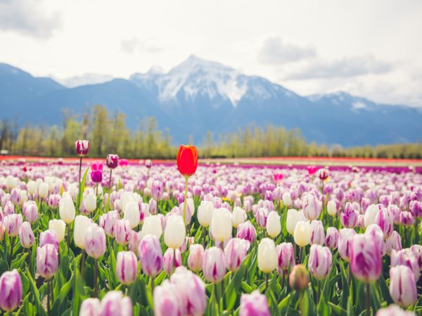 Chilliwack Tulip Festival Tulips of the Valley Winston Wong photo